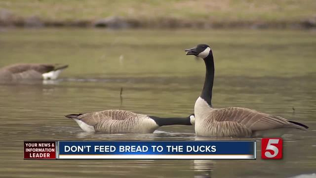 Experts- Don-t Feed Bread To Ducks- Geese
