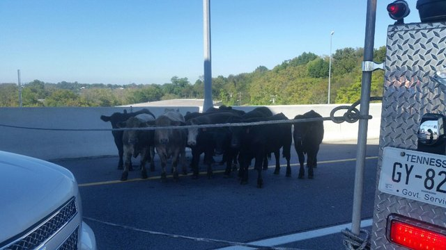 Truck hauling cows overturns on Briley Parkway