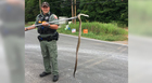Snake wraps around woman's leg while driving