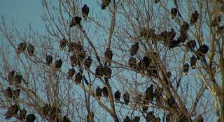 Vultures Take Over Corner In Clarksville