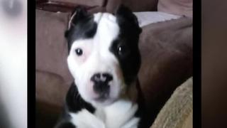Puppy Stolen During Hopkinsville Burglary