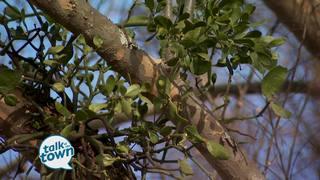 Year 'Round Ideas for Using Mistletoe