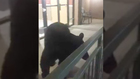 Video: Woman Encounters Gatlinburg 'Town Bear'