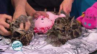 Clouded Leopard Cubs from The Nashville Zoo