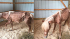 Emaciated Pony Found In Goodlettsville