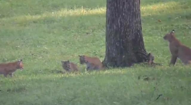 bobcat sightings in green hills  west meade