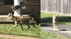Coyote spotted in Bellevue subdivision